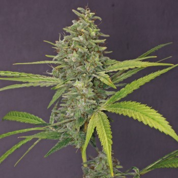 http://grubylolek.pl/1017-thickbox_atch/nasiona-marihuany-g13-haze.jpg