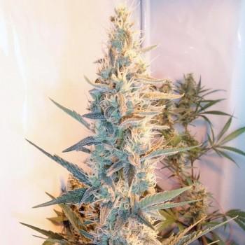 http://grubylolek.pl/1028-thickbox_atch/nasiona-marihuany-outdoor-grapefruit.jpg