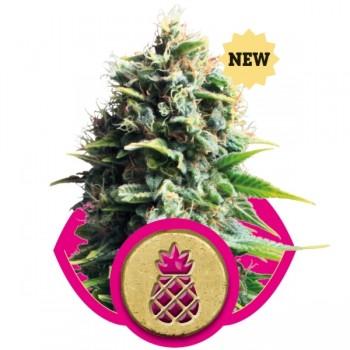 http://grubylolek.pl/1045-thickbox_atch/nasiona-marihuany-pineapple-kush.jpg