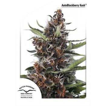 http://grubylolek.pl/1051-thickbox_atch/nasiona-marihuany-autoblackberry-kush.jpg