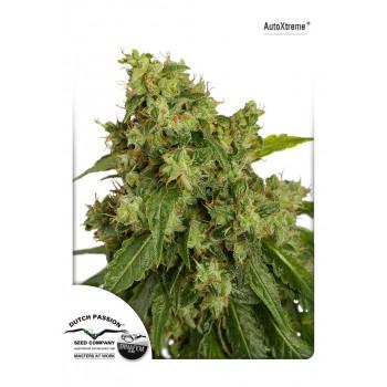 http://grubylolek.pl/1053-thickbox_atch/nasiona-marihuany-autoxtreme.jpg