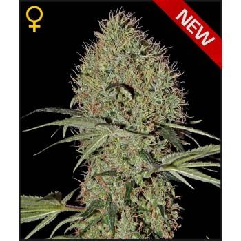 http://grubylolek.pl/1056-thickbox_atch/nasiona-marihuany-super-bud-auto.jpg