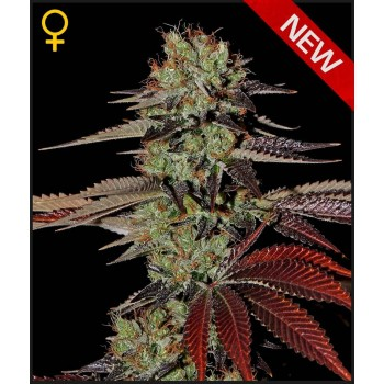 http://grubylolek.pl/1058-thickbox_atch/nasiona-marihuany-king-s-kush-auto.jpg