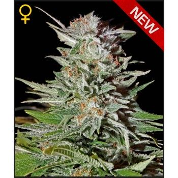 http://grubylolek.pl/1060-thickbox_atch/nasiona-marihuany-super-lemon-haze-auto.jpg