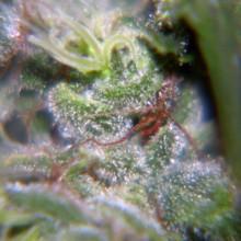 nasiona marihuany Nev. Haze