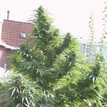 nasiona marihuany Easy Sativa