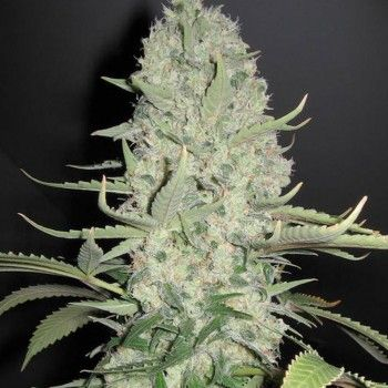 http://grubylolek.pl/169-thickbox_atch/nasiona-marihuany-white-widow-x-big-bud.jpg