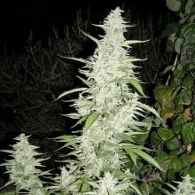 nasiona marihuany Maroc