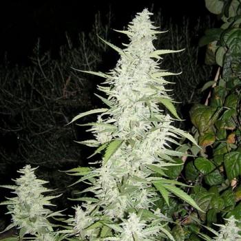 http://grubylolek.pl/174-thickbox_atch/nasiona-marihuany-maroc.jpg