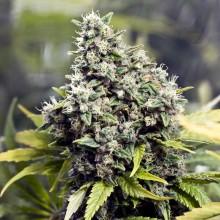 nasiona marihuany Grapefruit ®