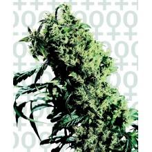 nasiona marihuany Northern Lights 5 X Haze