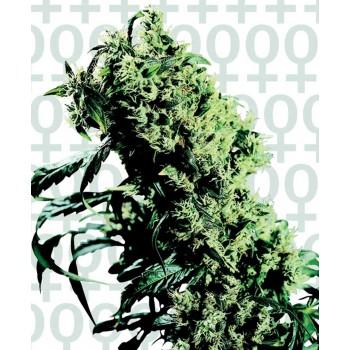 http://grubylolek.pl/215-thickbox_atch/nasiona-marihuany-northern-lights-5-x-haze.jpg