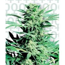 nasiona marihuany Shiva Skunk
