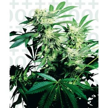 http://grubylolek.pl/218-thickbox_atch/nasiona-marihuany-skunk-kush.jpg