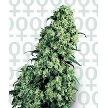 nasiona marihuany Skunk 1