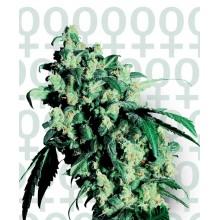 nasiona marihuany Super Skunk