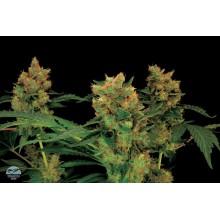 nasiona marihuany Blue Hash