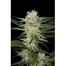 nasiona marihuany Oryginal Amnesia