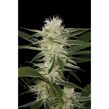 http://grubylolek.pl/223-thickbox_atch/nasiona-marihuany-original-amnesia.jpg