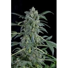 nasiona marihuany Original Amnesia Auto