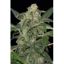 nasiona marihuany Haze 2.0 Auto
