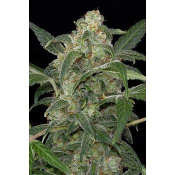 http://grubylolek.pl/226-thickbox_atch/nasiona-marihuany-haze-20.jpg