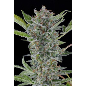 http://grubylolek.pl/227-thickbox_atch/nasiona-marihuany-white-widow-auto.jpg