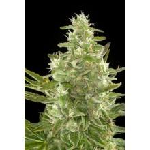 nasiona marihuany Critical+ Auto
