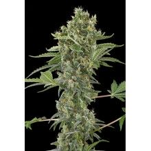 nasiona marihuany Moby Dick Auto