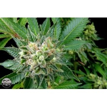 nasiona marihuany Diesel