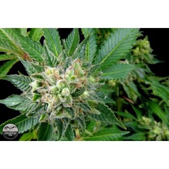 http://grubylolek.pl/230-thickbox_atch/nasiona-marihuany-diesel.jpg