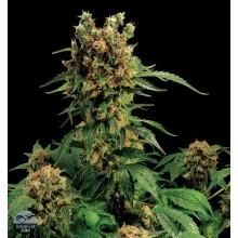 nasiona marihuany California Hash Plant
