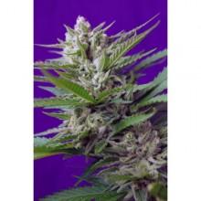 nasiona marihuany Speed Devil 2 ® Auto