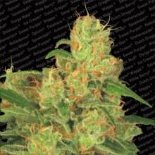 nasiona marihuany Auto Acid