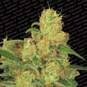 http://grubylolek.pl/258-thickbox_atch/nasiona-marihuany-auto-acid.jpg