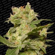 nasiona marihuany Auto Jack