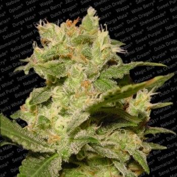 http://grubylolek.pl/260-thickbox_atch/nasiona-marihuany-auto-jack.jpg