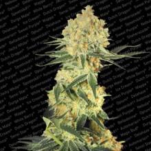 nasiona marihuany Auto Wappa
