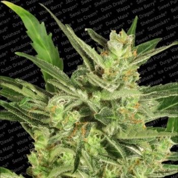 http://grubylolek.pl/262-thickbox_atch/nasiona-marihuany-automaria-2.jpg