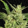 nasiona marihuany Automaria 2