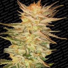 nasiona marihuany Ice Cream