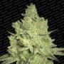 nasiona marihuany Jacky White