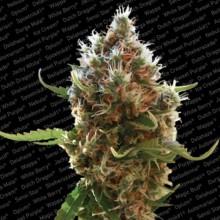 nasiona marihuany Lucid Bolt