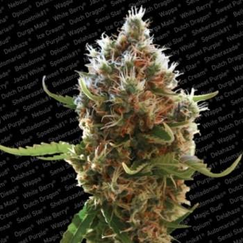 http://grubylolek.pl/268-thickbox_atch/nasiona-marihuany-lucid-bolt.jpg
