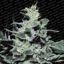 nasiona marihuany Nebula