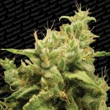 nasiona marihuany Opium
