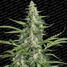 nasiona marihuany Pandora