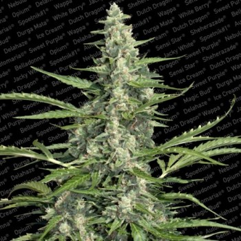 http://grubylolek.pl/277-thickbox_atch/nasiona-marihuany-pandora.jpg