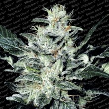 nasiona marihuany Sensi Star