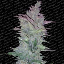 nasiona marihuany Vertigo